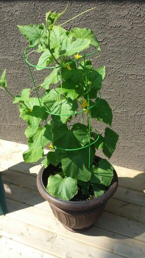 Cucumber plant in a pot because my yard is not ready for a garden, so far lots of cucumbers growing just remember to water!!