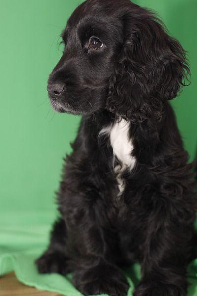 perro de raza Cocker Ingles negro corte de pelo - Buscar con Google