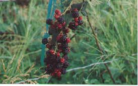 Doyle's Thornless Blackberries - this is the year I order & plant these!