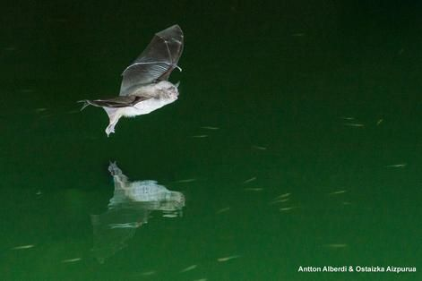 Een vleermuis waarvan altijd was gedacht dat hij zich uitsluitend voedt met insecten blijkt ook een viseter te zijn. Het gaat om de zogeheten Capaccini's vleermuis, een soort die behoort tot de familie van de gladneusvleermuizen. Onderzoekers ontdekten dat de dieren hun dieet kunnen aanpassen aan het beschikbare voedsel. Ze keken naar twee groepen vleermuizen in de Spaanse stad Valencia: insecteneters en viseters. De insecteneters bleken ook vissen te kunnen vangen, maar waren minder…