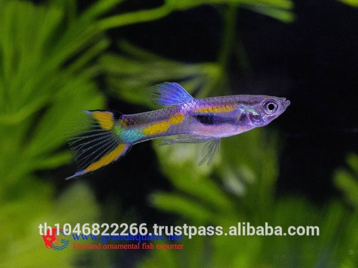 732 best images about peces on pinterest live fish for Endler guppy