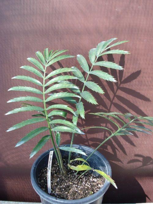 Encephalartos/Encephalartos%20aplanatus.JPG.
