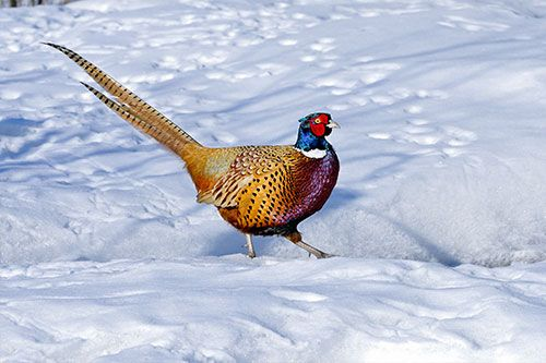 Learn interesting facts and information about common pheasants, and see beautiful pheasant photos and artwork at AmericanExpedition.us