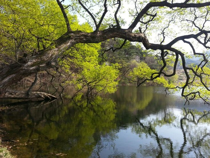 Willow Tree at Bangokji in Gyeonsan.