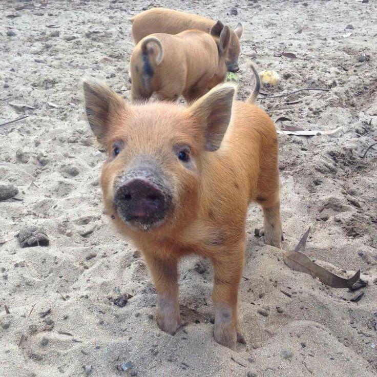 I Want A Cute Little Beach Pig