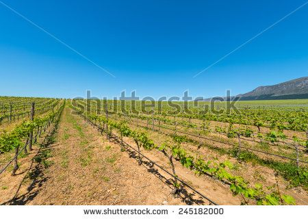 http://www.shutterstock.com/pic-245182000 Constantia Grape Wineland Countryside Landscape Background Of Hills With Mountain Backdrop In Cape Town South Africa Stock Photo 245182000 : Shutterstock