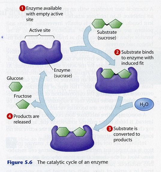The use of immobilized enzymes as renewable biocatalysts is gaining attention in the scientific community. The immobilization of enzymes is necessary to avoid a complex separation and recovery of the enzymes and to also apply enzymes in an Enzymatic Reactive Distillation. The Enzymatic Reactive Distillation helps to further overcome the equilibrium limitations of Enzyme Transesterification reactions by means of in-situ product separation.