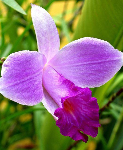 Orquídea salvaje. Amazonas Colombia