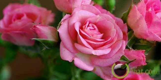 Foto Bunga Mawar Yg Cantik 6 Jenis Bunga Mawar Yg Paling Cantik Di Dunia Blog Kita 10 Gambar Setangkai Bunga Mawar Gambar T Bunga Gambar Bunga Mawar Cantik