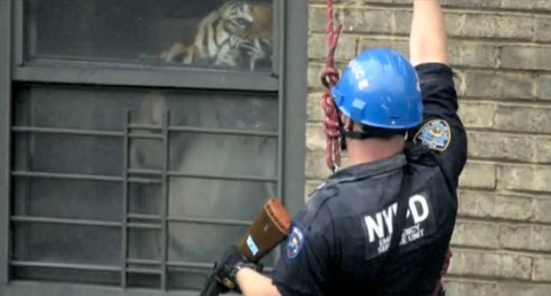 Ming The 400 Lbs Tiger In His Harlem Apartment Home
