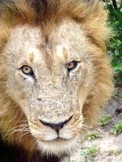 Lion sighting at Mala Mala Game Reserve