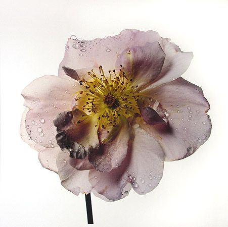 Rose by Irving Penn