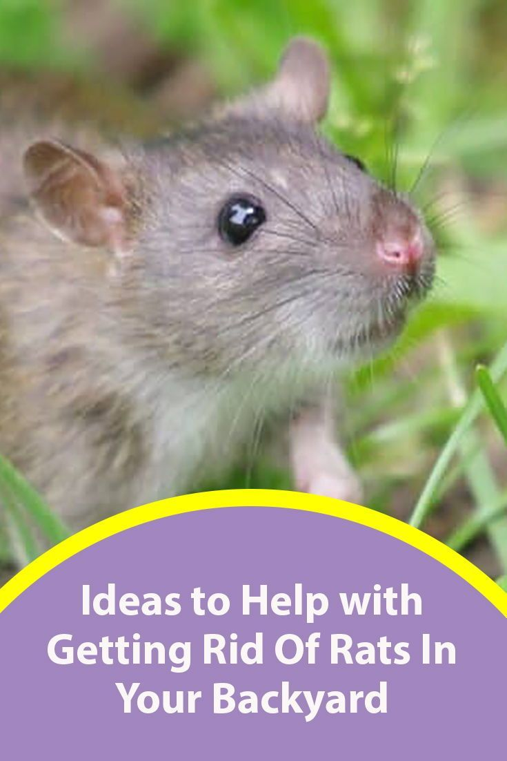 How to Get Rid of Rats in Your Backyard: Best Methods 2020 | Getting rid of  rats, Rats, Rid
