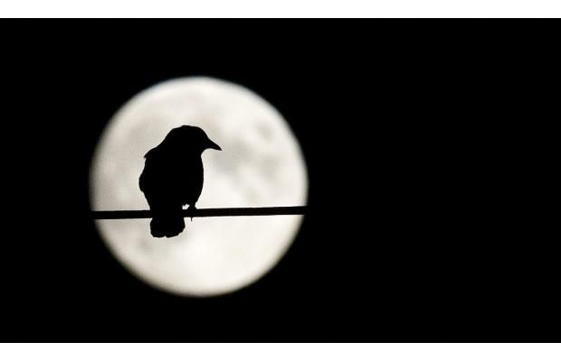 Murder mystery: The reason why 6,000 crows flock to Burnaby every night