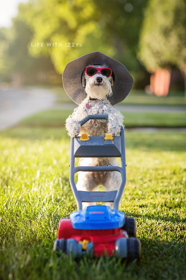 Don't all miniature schnauzers mow the lawn?  We have the best dog.