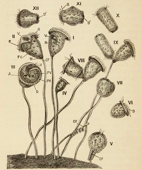 Vorticella. Textbook of elementary biology. 1893.