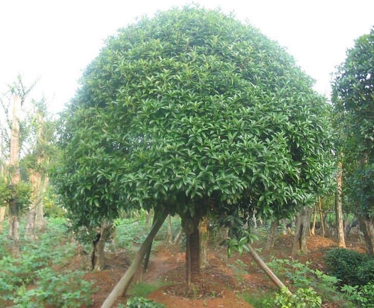 Full size picture of Sweet Olive, Fragrant Tea Olive (Osmanthus fragrans)