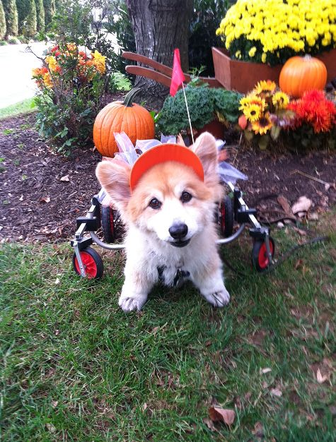 The Daily Corgi: Corgis n' Pumpkins Saturday! #corgi