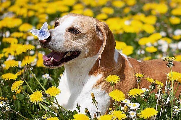 63+ Shih Tzu Dog Breeders Australia in 2020 Puppies