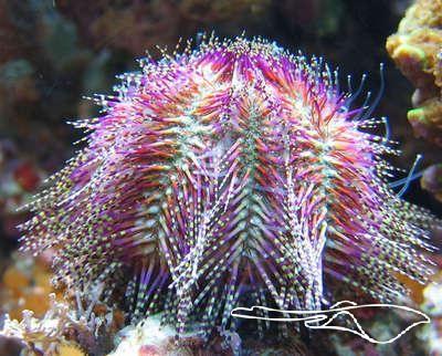 Salmacis Bicolor Roze Zee-egel