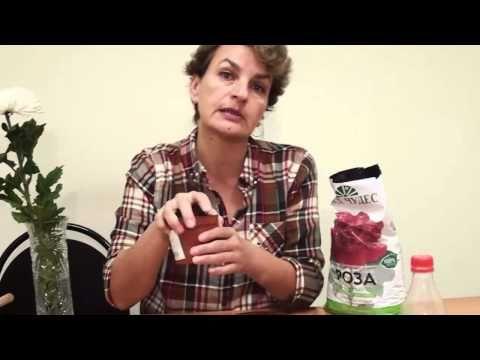 """Как укоренить розы из букета. Сайт """"Садовый мир"""" - YouTube"""