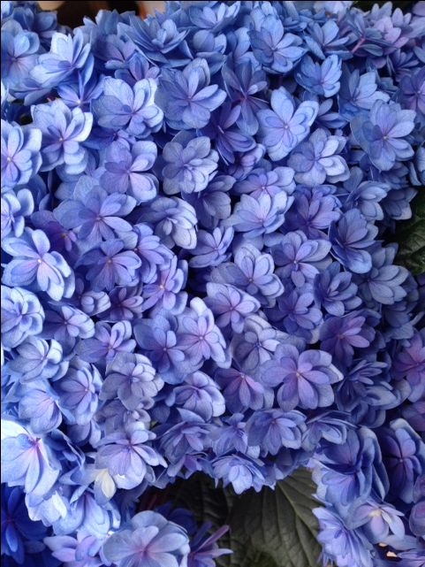 Hydrangea You and Me Together Blue...Sold in bunches of 10 stems from the Flowermonger the wholesale floral home delivery service.