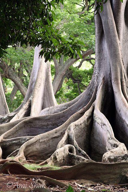 ...roots.....Moreton Bay.