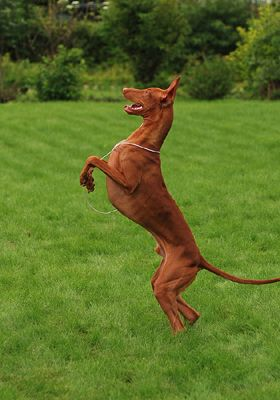 Pharooh Hound photo | Pharaoh Hound