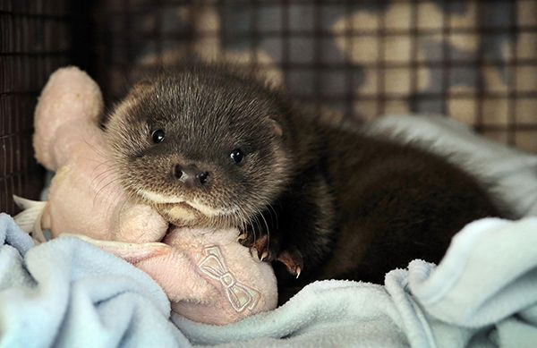 Otter Pup Separated from His Family Finds a New Home 2