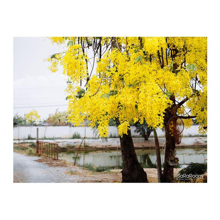Tree yellow flowers #yellow flower #landscape #panasonicgx8 #gx8 #photography