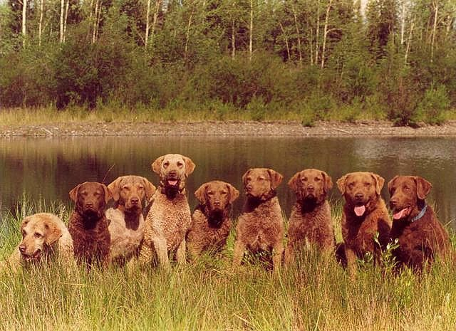 Chesapeake Bay retrievers... we have had them in our family for three generations.