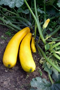 Tips for summer squash