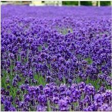 Бесплатная Доставка 100 шт. Лаванда трава семян сад балкон горшок Four Seasons цветочные семена(China (Mainland))