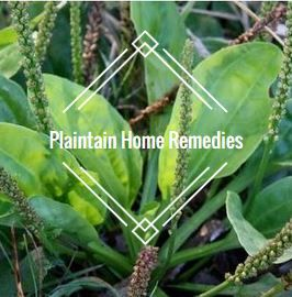 Common Plantain Home Remedies - Sunburn, Rashes, More!