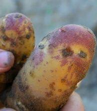 """картофель """"Золото Майя"""" мешочек 2,0 кг."""