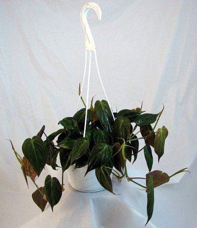 jmbamboo rare velvet leaf bronze micans vine 6 hanging basket indoor hanging plantshanging