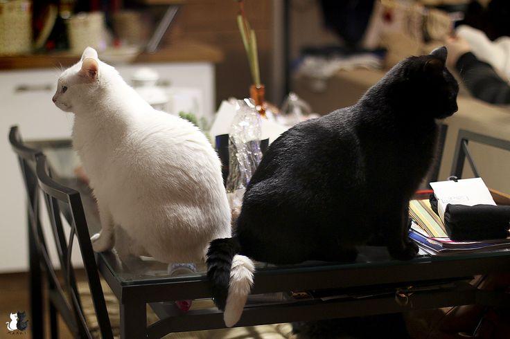 www.fb.com/maniekimarcelka #cats #koty #katzen #marcelka #neko #gato #kitens #caturday #maniek #manki #mańki #love #blackcats #whitecats