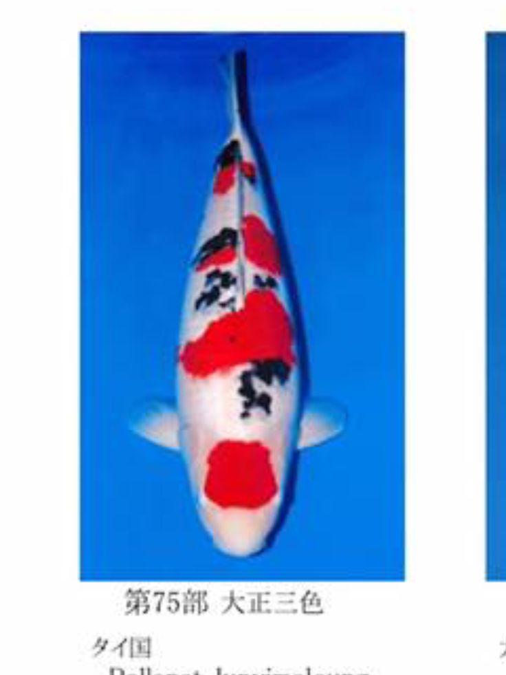88 best sanke images on pinterest koi animal paintings for Grand champion koi for sale