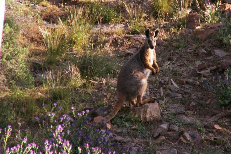 Yellow Footed Rock Wallaby in the Flinders Ranges by Clancy of Australia