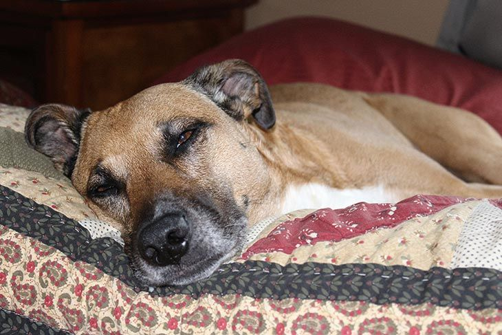 How To Euthanize A Dog At Home Without A Vet 2020 Aug Updated Sleeping Dogs Dogs Rescue Dogs