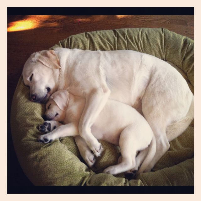 Labrador puppy love....one of my favorites for this doggie board