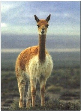 Vicuna is the world´s most valuable fiber. Vicuna is small and wild and belongs to the Camel family. It yields the finest animal fiber in the world. This fiber is rare and very expensive.