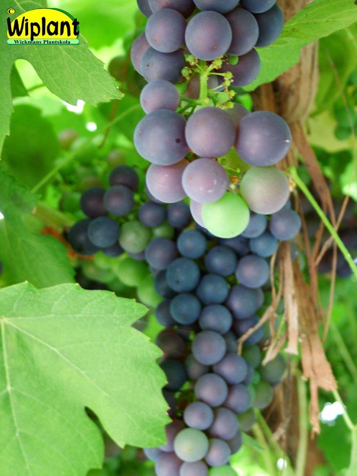 Vitis 'Schuyler', vinranka. Blåa små druvor. Rätt härdig. Odlas i växthus.