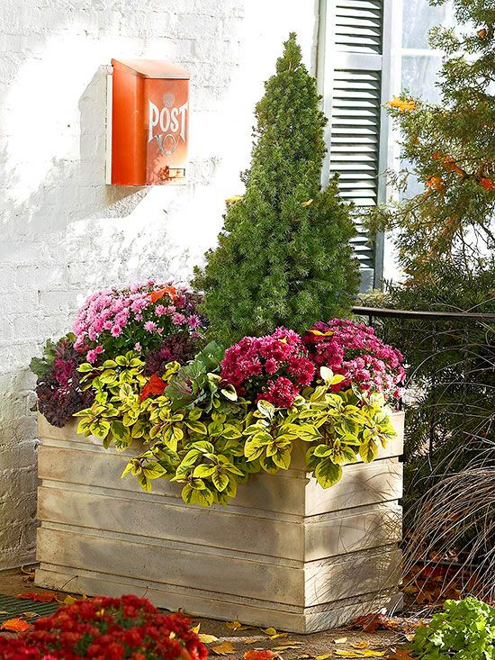 Transition this fall-theme porch container to winter (and beyond) by starting with a living evergreen that keeps its color year-round. For the cool fall months, surround with purple mums and goldPlectranthus. Flowering cabbage supplies another layer of purple-pink tones./