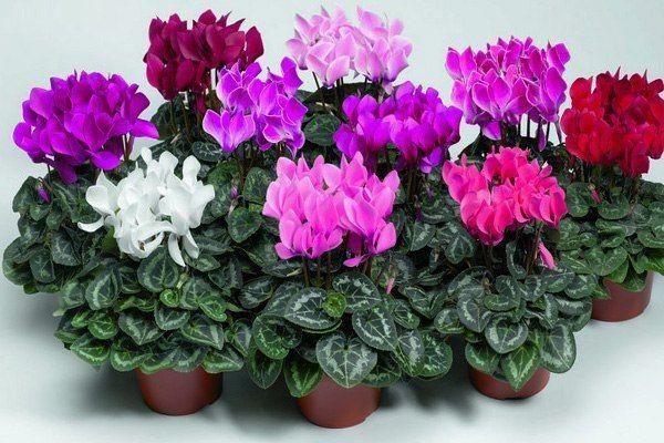 ПРОВЕРЕННОЕ СРЕДСТВО ОТ ГАЙМОРИТА Имейте в виду, капли ОЧЕНЬ сильные. Итак, 1. Необходим цветочек, называется цикломен. В советское время он бурно произрастал у многих на подоконниках. Сейчас его не трудно приобрести в цветочном магазине. НО: цветок спящий, поэтому если не видите на прилавке, поинтересуйтесь у продавца, возможно у них есть сами луковицы. 2. После того, как цикломен отцветет, срезаете листья, луковицу чистите и выдавливаете из нее сок. Этот концентрат может храниться в…