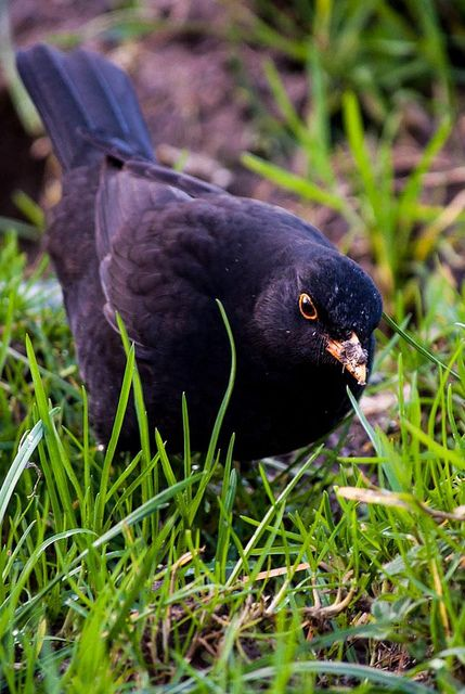 Here's our top tips for giving blackbirds, like this cheeky chappy, a home in your garden: - Mulch your flower beds with leaf-litter - Keep a well-mown lawn - Plant fruiting shrubs and trees (especially dense, thorny ones) - Plant climbers against walls #homesfornature