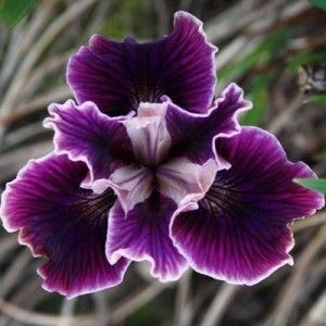 Pacific Coast Iris 'Fallen Plums'                                                                                                                                                                                 More