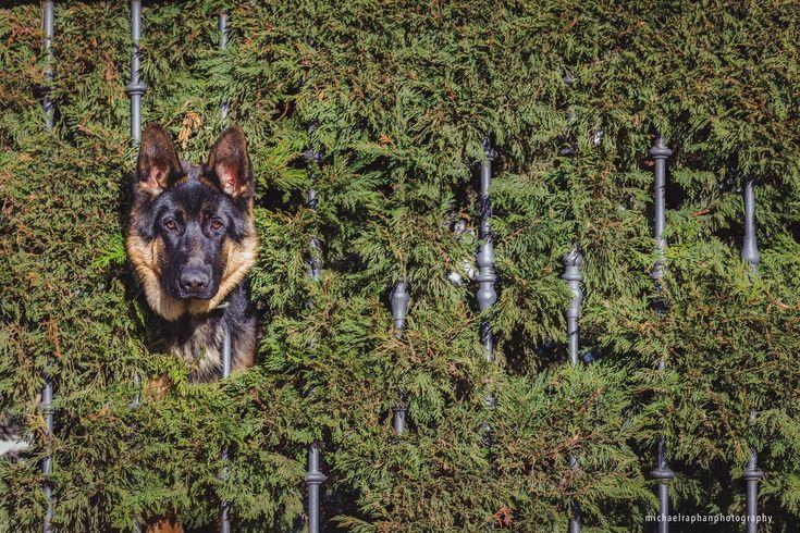 """La belleza triste de los perros tras las vallas: retratos de los """"perros de jardín"""""""