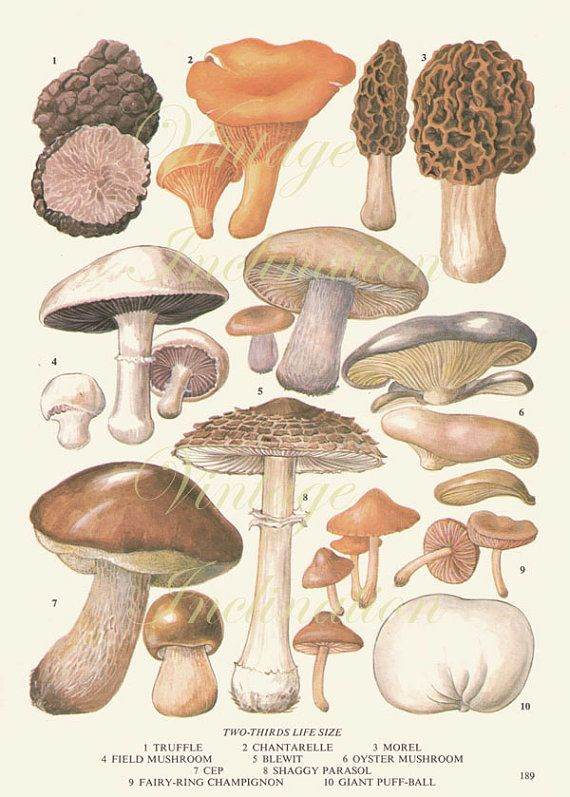 Vintage Antique MUSHROOMS illustration, book page, book print, bookplate 189