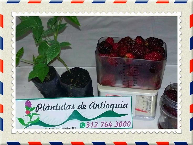 Venta de plantas de mora Sin Espina, Castilla y San Antonia en Colombia somos Productores y Distribuidores de las mejores plantas de moras e...